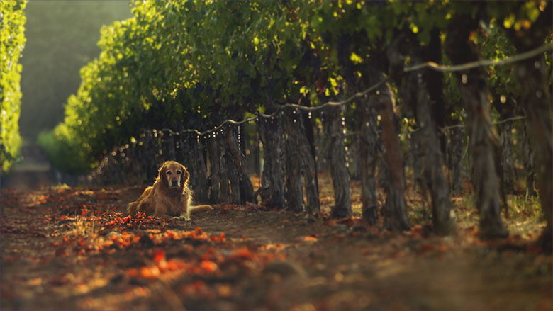 irrigation in the vineyards with a dog