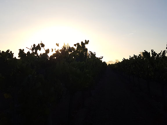 Cooling Fog Vineyard Sunrise