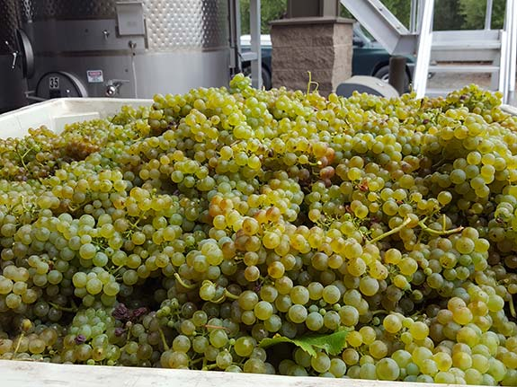 Viognier grapes