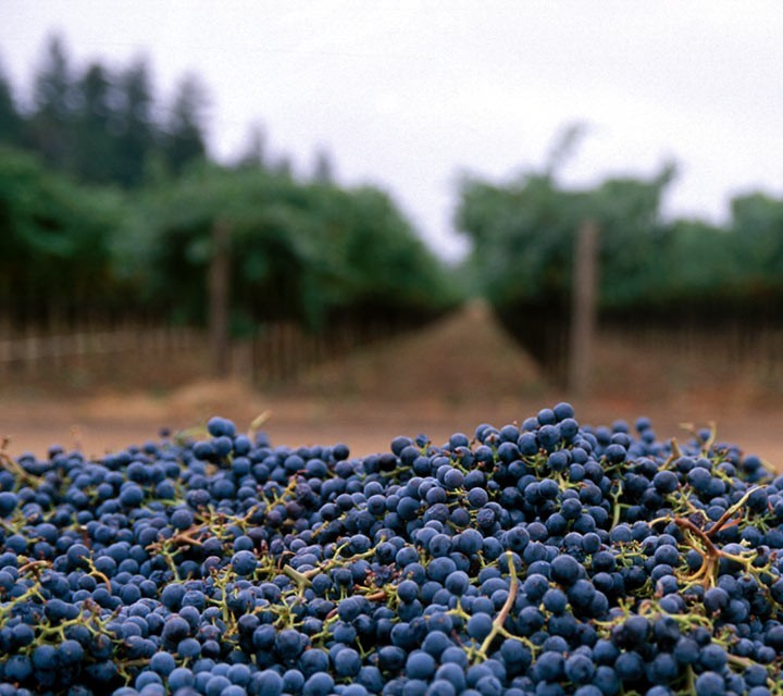 harvested fruit in the vineyard