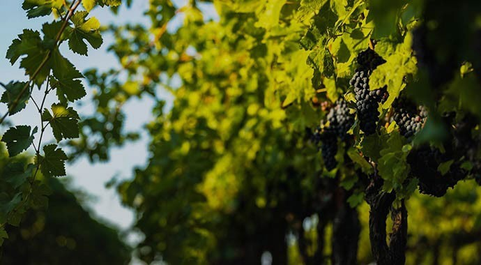 Merlot grapes hanging on vine