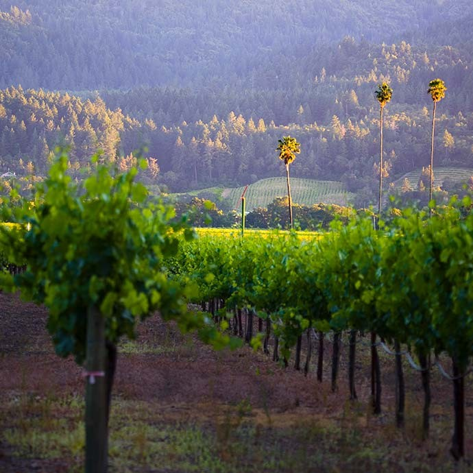 Three Palms vineyard with close up of vines and palm trees behind